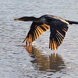 Brian Tada - Double Crested Cormorant Taking Flight