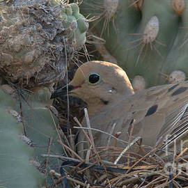 Beverly Guilliams - Dove in a Saguaro Cactus