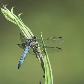 Brooks Garten Hauschild - Dragonfly Art - Images from the Garden 7