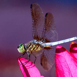 Nancy Helmer - Dragonfly  at Rest