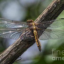 Darleen Stry - Dragonfly Macro