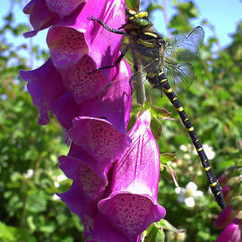 Pete Moyes - Dragonfly on a Foxglove