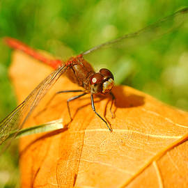 Lilia D - Dragonfly on dry leaf