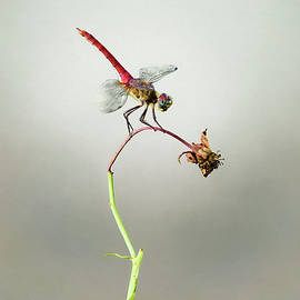 Steven Michael - Dragonfly on Wilted Flower