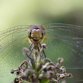 Diane Hawkins - Dragonfly smile