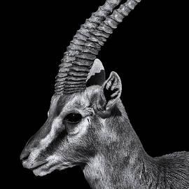 Liran Eisenberg - Dramatic Antelope