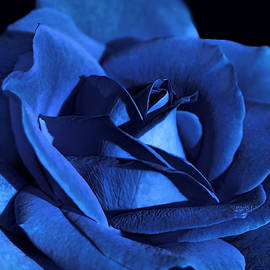 Jennie Marie Schell - Dramatic Blue Velvet Rose Flower