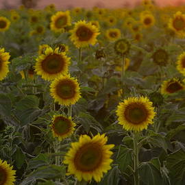 Dreaming in sunflowers