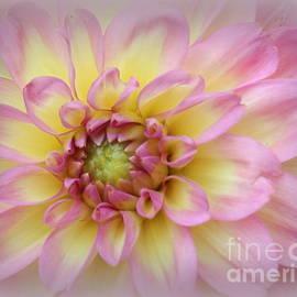 Dora Sofia Caputo Photographic Art and Design - Dreamy Dahlia in Pink and Gold