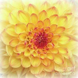Carol Groenen - Dreamy Yellow Dahlia