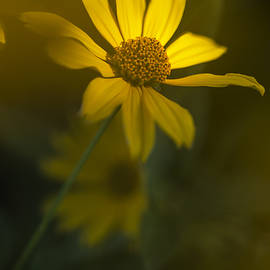 Vishwanath Bhat - Dreamy yellow flower under natural lighting