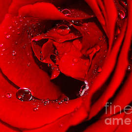 Kaye Menner - Droplets on Red Rose by Kaye Menner