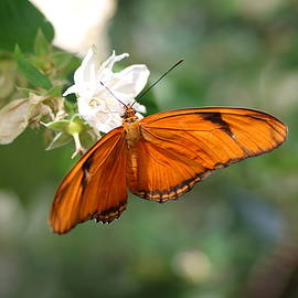 Christiane Schulze Art And Photography - Dryas Iulia - Julia Butterfly