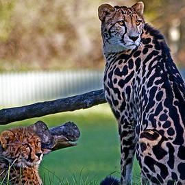 Miroslava Jurcik - Dubbo Zoo Queen - King cheetah and cub