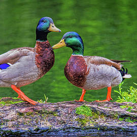 Cathy Kovarik - Duck Buddies