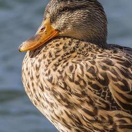 Ornella Bonomini - Duck On Lake