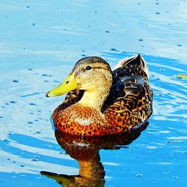 Dan Comeau - Duck Reflected