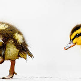 Lisa Cockrell - Duckling Parade