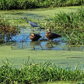 John Trommer - Ducks And A Little Blue Heron