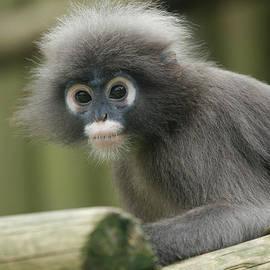 Rawshutterbug - Dusky Leaf Monkey
