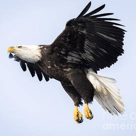 Ricky L Jones - Eagle Coming in For a Landing