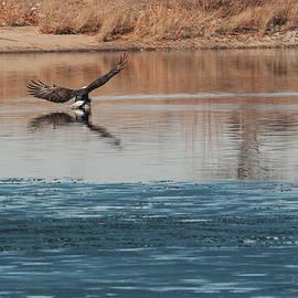 Phyllis Taylor - Eagle Fishing