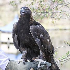 Linda Troski - Eagle or Falcon