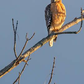 Bill Wakeley - Early Bird Hawk