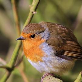 Paul Stout - Early Morning Robin
