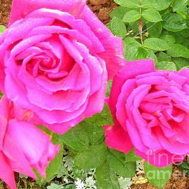 Jane Gatward - Early Summer Roses