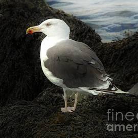 Marcia Lee Jones - East Coast Herring Seagull