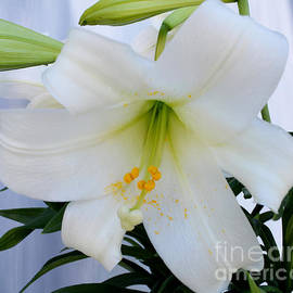 To-Tam Gerwe - Easter Lilly