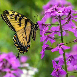 Darleen Stry - Easter Tiger Swallowtail amongst wildflowers