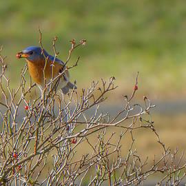 Linda Howes - Eastern Blue Bird Snacking on Rose bush