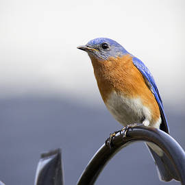 Cameron Williams - Eastern Bluebird