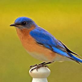 Marion Johnson - Eastern Bluebird