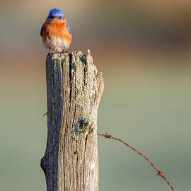 Bill Wakeley - Eastern Bluebird Portrait