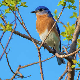 William Krumpelman - Eastern Bluebird