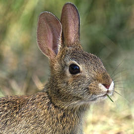 Gerry Gantt - Eastern Cottontail Rabbit DMAM0023