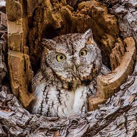 Morris Finkelstein - Eastern Screech-Owl Portrait