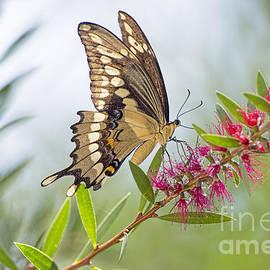 Bonnie Barry - Eastern Tiger Swallowtail Butterfly on Bottlebrush