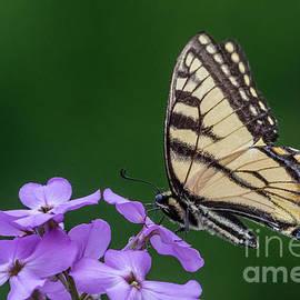 Darleen Stry - Eastern Tiger Swallowtail