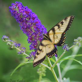 Diane Hawkins - Eastern tiger swallowtail