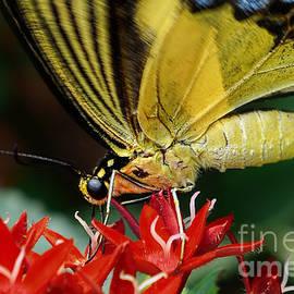 Olga Hamilton - Eastern Tiger Swallowtail
