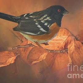 Janette Boyd - Spotted Towhee in Autumn