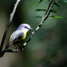 Nicholas Blackwell - Eastern Yellow Robin