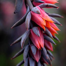 Echeveria Flowers - Jessica Jenney
