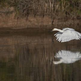 Ruth Jolly - Egret flies across the ponds.