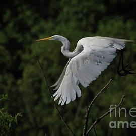Douglas Stucky - Egret in Flight II
