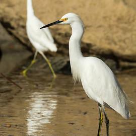 Bruce Frye - Egrets by the Rocks